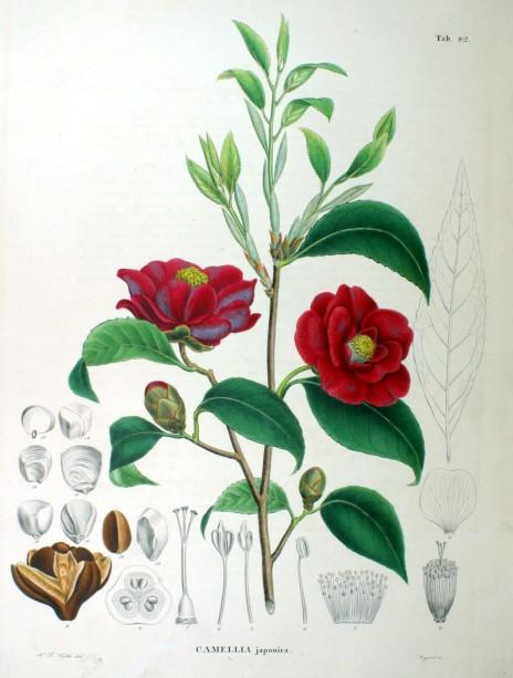 09 Camellia japonica